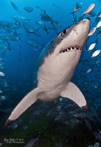 Meet Chainsaw the little 3.5m Great White.  The lens make... by Sam Cahir 